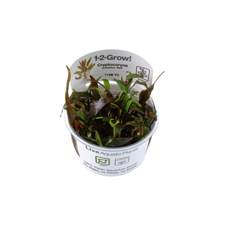 Cryptocoryne Undalatus 'Red' 1-2-Grow !