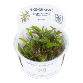 Cryptocoryne Wendtiii 'Green' 1-2-Grow !